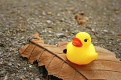 Yellow rubber duck on a brown leaf. Yellow rubber duck on a brown leaf Stock Image