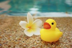 Yellow rubber duck with pluemeria flowers at swimming pool. Royalty Free Stock Image