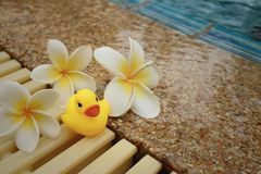 Yellow rubber duck with pluemeria flowers at swimming pool. Stock Photo