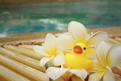 Yellow rubber duck with pluemeria flowers at swimming pool. Royalty Free Stock Images