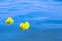 Yellow rubber ducklings float in blue water. royalty free stock images