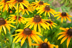 Yellow rudbeckia Stock Image