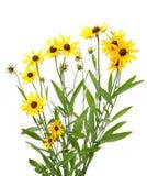 Yellow rudbeckia Stock Photos