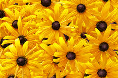Yellow rudbeckia or Black Eyed Susan flowers background Royalty Free Stock Photography