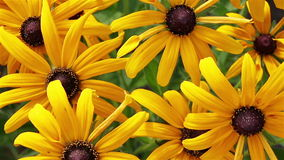 Yellow rudbeckia or Black Eyed Susan flowers background stock video