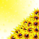 Yellow rudbeckia flowers with beautiful bokeh, square image Royalty Free Stock Photography