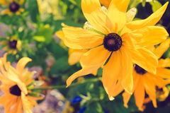 Yellow Rudbeckia with brown centers. Also called Coneflowers, Black-eyed-Susans, Leuchtender Sonnenhut.  Stock Images