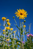 Yellow Rudbeckia Stock Images