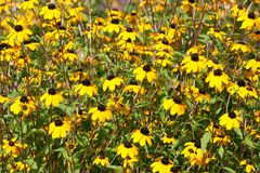 Yellow Rudbeckia Stock Photos