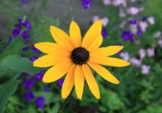 Yellow rudbeckia flower Stock Photography