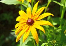 Yellow rudbeckia flower Stock Image