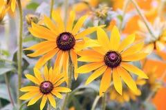 Yellow rudbeckia flower in garden Stock Image