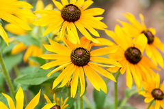 Yellow rudbeckia flower in garden Stock Photo