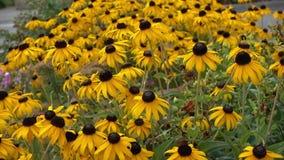 Yellow rudbeckia flower stock footage