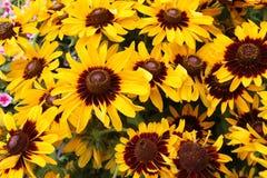 Yellow rudbeckia flowers (summer flowers) Stock Photo