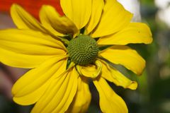 Rudbeckia Asteraceae flower. Yellow rudbeckia flower garden summer bloom Stock Photography
