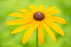 Yellow rudbeckia flower Royalty Free Stock Images