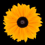 Yellow Rudbeckia Flower Head Isolated on Black Stock Image