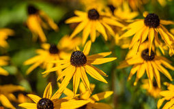 Yellow Rudbeckia Flowers Stock Photos