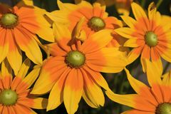 Yellow Rudbeckia Flowers Blooming in the Summertime. Yellow Rudbeckia, coneflowers, black-eyed-susans, flowers close-up, with yellow green centers stock photos