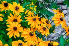 Yellow rudbeckia flowers Royalty Free Stock Photo