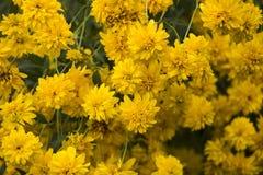 Yellow rudbeckia flowers Royalty Free Stock Image
