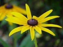 Yellow rudbeckia in a garden. Yellow rudbeckia, coneflower in a garden. summer flowers Stock Image