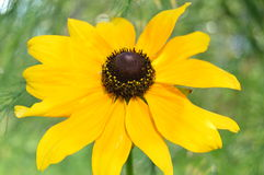 Yellow rudbeckia Royalty Free Stock Photos
