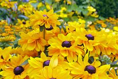 Yellow rudbeckias Royalty Free Stock Image