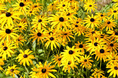 Yellow rudbeckias Royalty Free Stock Photo