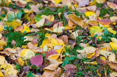 Yellow rug of autumn leaves Royalty Free Stock Images