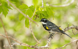 Yellow Rump Warbler Royalty Free Stock Photo