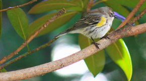 Yellow Rump Warbler on branch Royalty Free Stock Photo