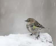 Yellow rump warbler in snow Royalty Free Stock Images