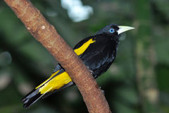 Yellow rumped cacique. The Yellow-rumped Cacique, Cacicus cela, is a passerine bird in the New World family Icteridae. It breeds in much of northern South Royalty Free Stock Image