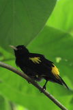 Yellow-rumped cacique Stock Photos