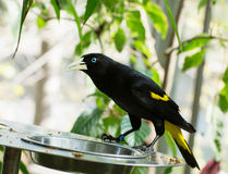 Yellow-rumped cacique (Cacicus cela) Stock Images