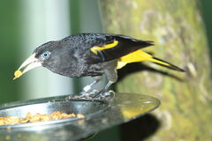 Yellow-rumped cacique Royalty Free Stock Images