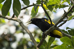 Yellow - rumped Cacique Stock Image