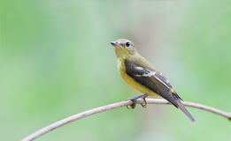 Yellow-rumped Flycatcher Stock Photo