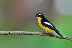 Yellow-rumped Flycatcher Bird. Beautiful bird, Yellow-rumped Flycatcher Ficedula zanthopygia perching on a branch, take of Thailand Stock Image
