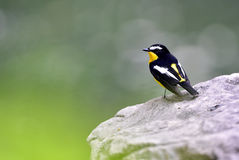 Yellow-rumped Flycatcher Stock Photos