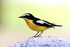Yellow-rumped Flycatcher Stock Photo