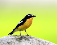 Yellow-rumped Flycatcher Royalty Free Stock Photography