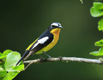 Yellow-rumped Flycatcher Stock Photography