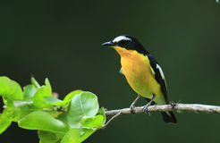 Yellow-rumped Flycatcher Stock Image