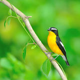 Yellow-rumped Flycatcher bird. A male Yellow-rumped Flycatcher on a branch.(Ficedula zanthopygia Stock Photos