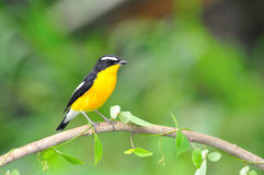 Yellow-rumped Flycatcher bird. A male Yellow-rumped Flycatcher on a branch.(Ficedula zanthopygia Stock Photo