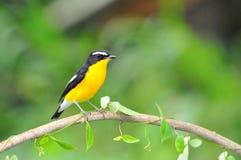 Yellow-rumped Flycatcher bird Stock Photo