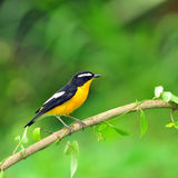 Yellow-rumped Flycatcher bird Royalty Free Stock Photography